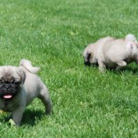 gorgeous smart Pug Puppies