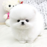 Platinium Pomeranian Puppies Ready For Sale